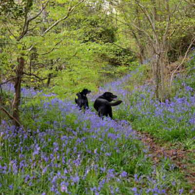 Bluebells, and black labradors walking, at Prehen Wood in Londonderry.  Photo is by Christine Cassidy.